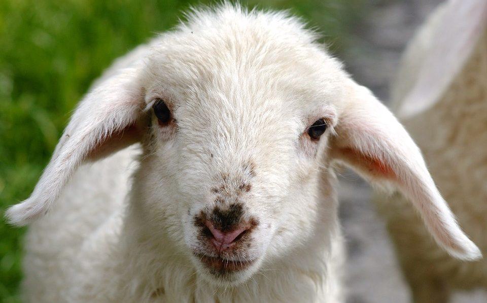 Ostern bedeutet Tierleid